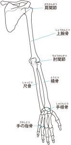 肩と腕の骨